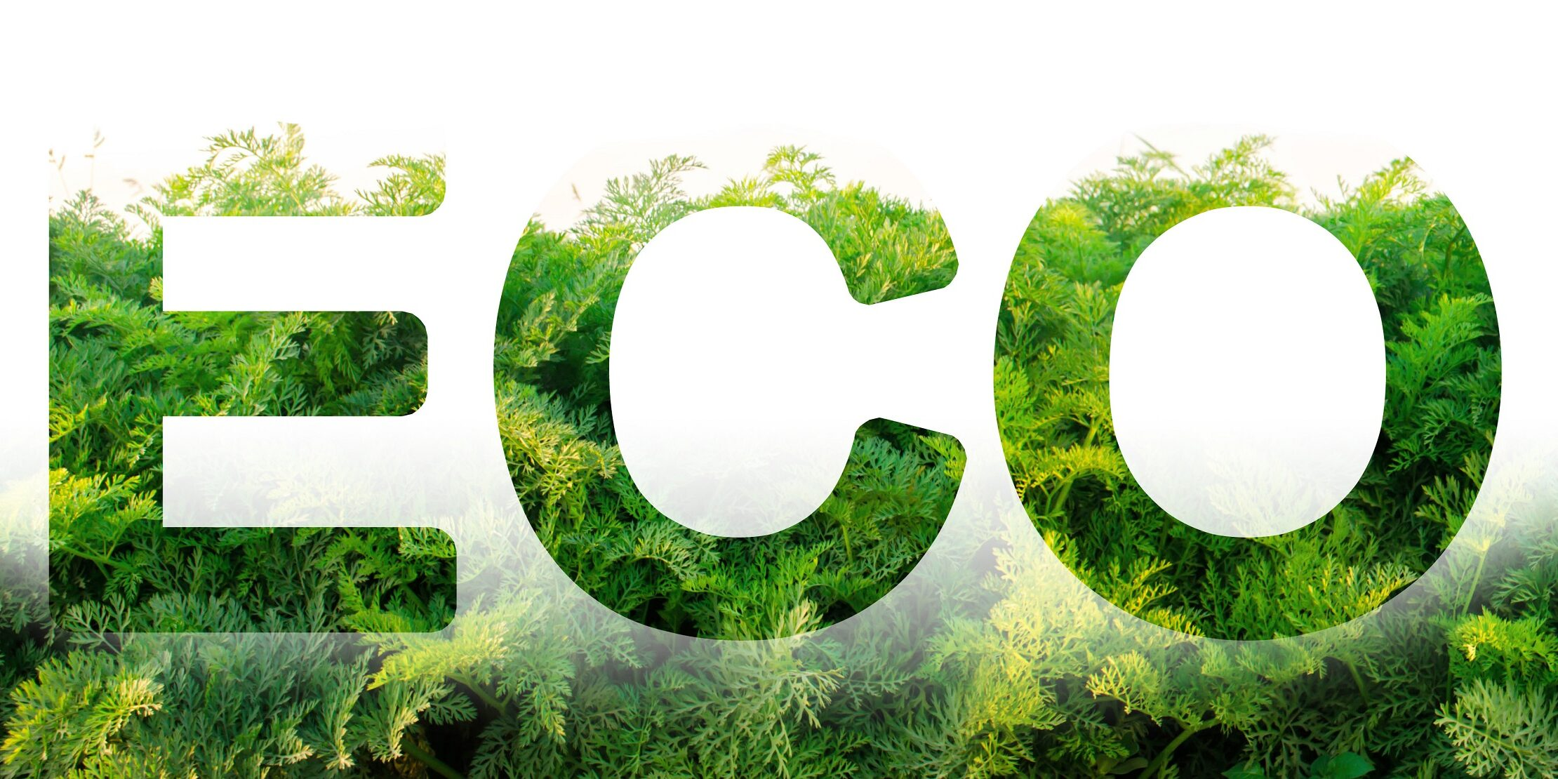 Eco word on the background of green leaves of carrots. plantation. Agriculture. harvest. Environmentally friendly, climate change, quality control, use safe pesticides. Organic vegetables.